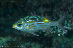 BD-130711-Maldives-0235-Gnathodentex-aureolineatus-(Lacepède.-1802)-[Striped-large-eye-bream].jpg
